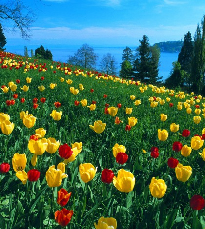 Spring-Tulips-yellow-and-red