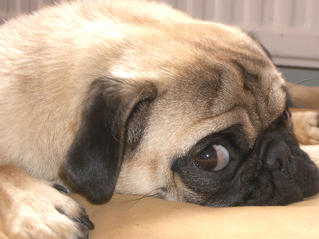 cute-pug-puppy-wallpaperpugs-wallpaper-239485-fanclubs-hd-wallpapers--1024x768px--indiwall-l2tnlqst