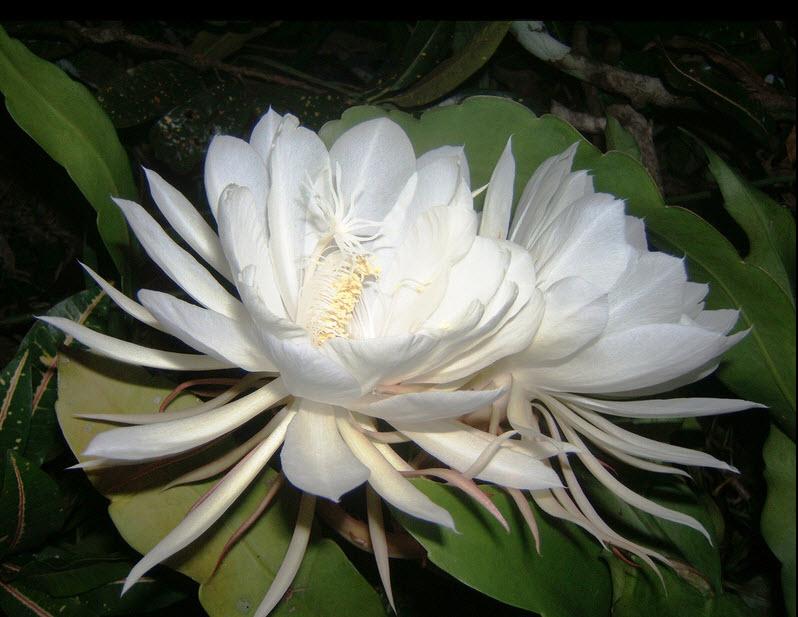 1 Kadupul-Flower