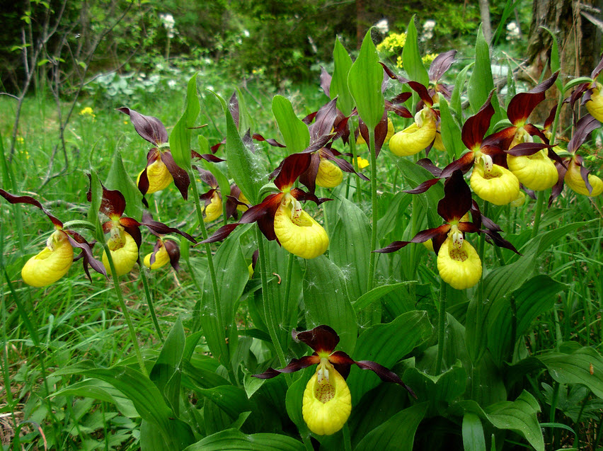 7 Yellow-and-Purple-Lady-Slippers
