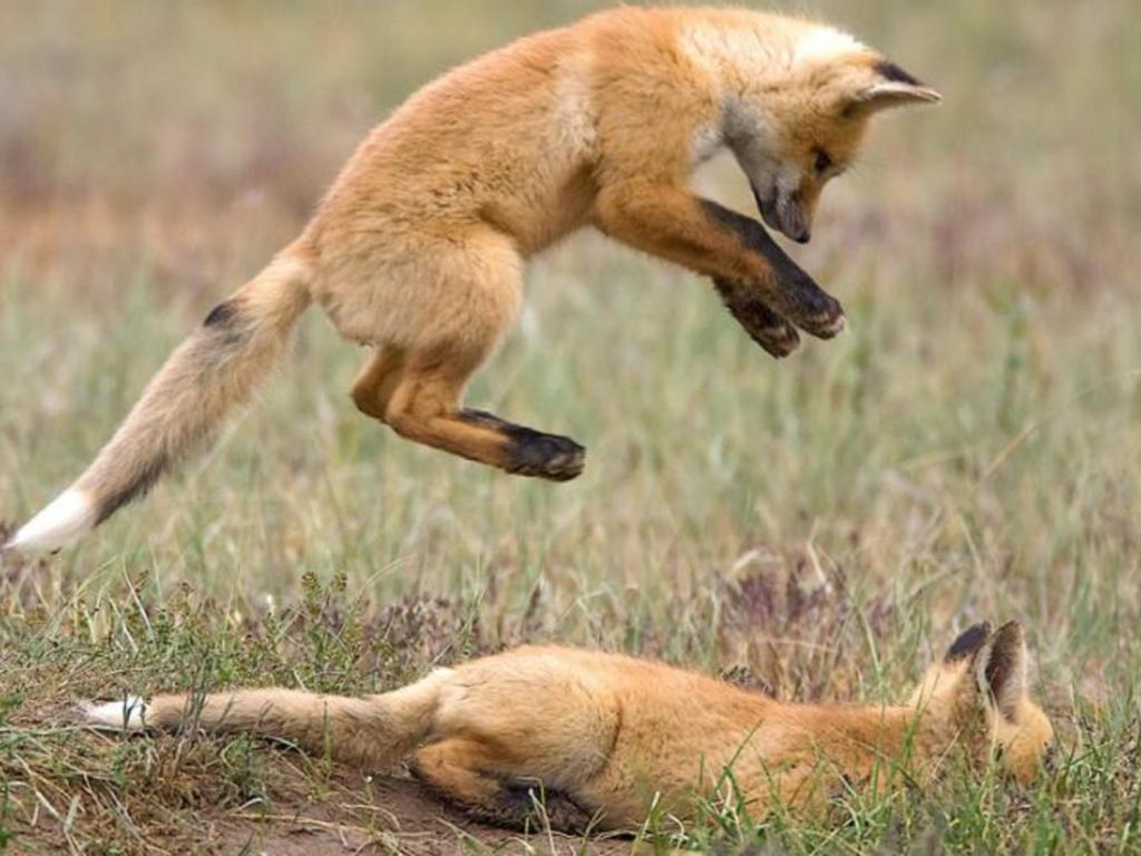 animal-fight-jokuci