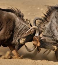 fighting_blue_wildebeest_by_kbulder-d48qs5g