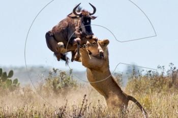 Πρέπει να ξέρεις να τρέχεις γρήγορα! Άγρια μάχη για επιβίωση…