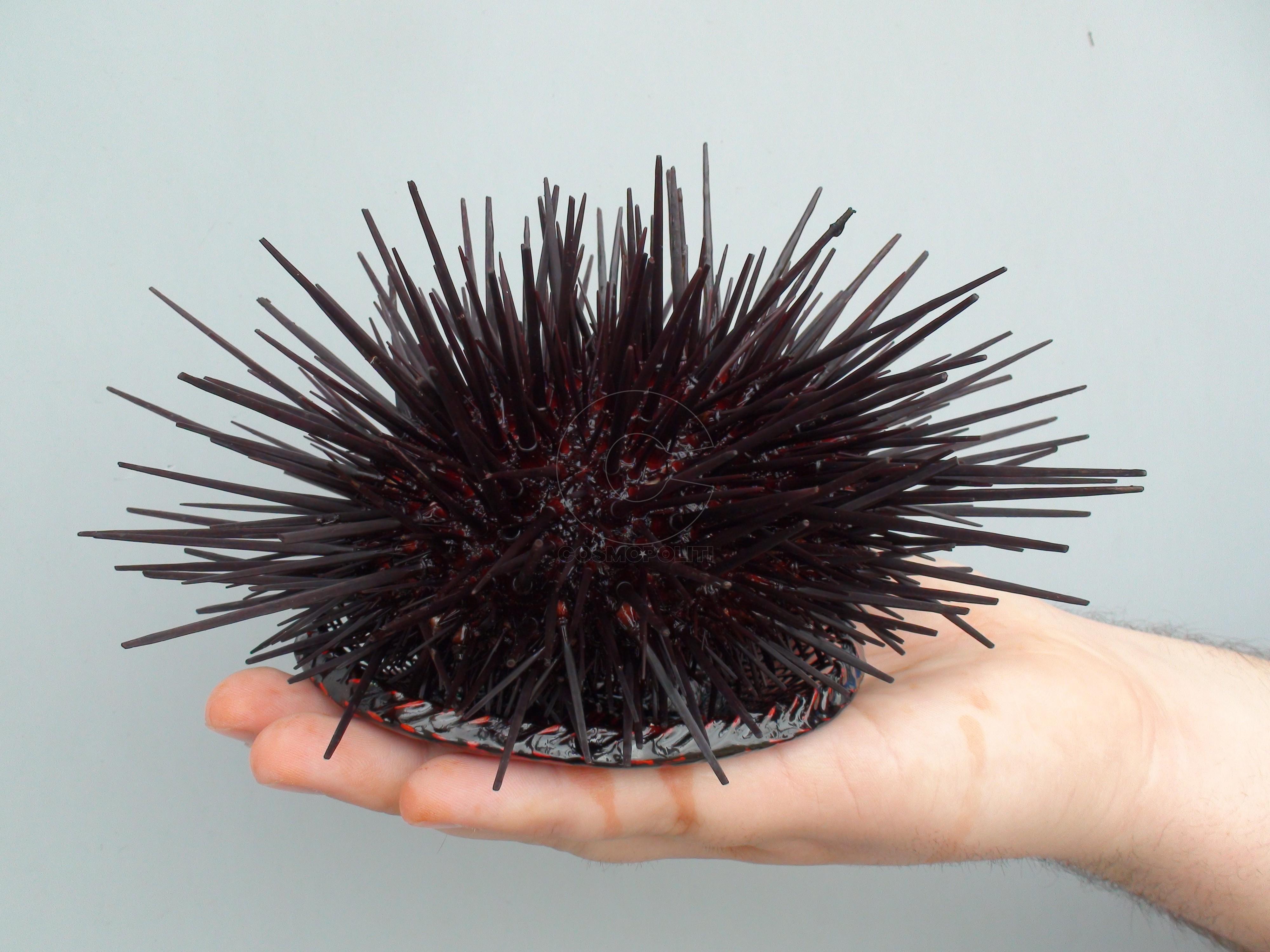 Whole-live-urchin-2