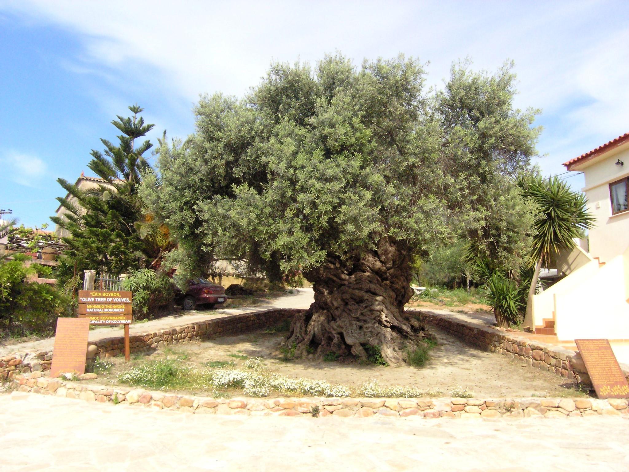 Τα αρχαιότερα δέντρα του κόσμου