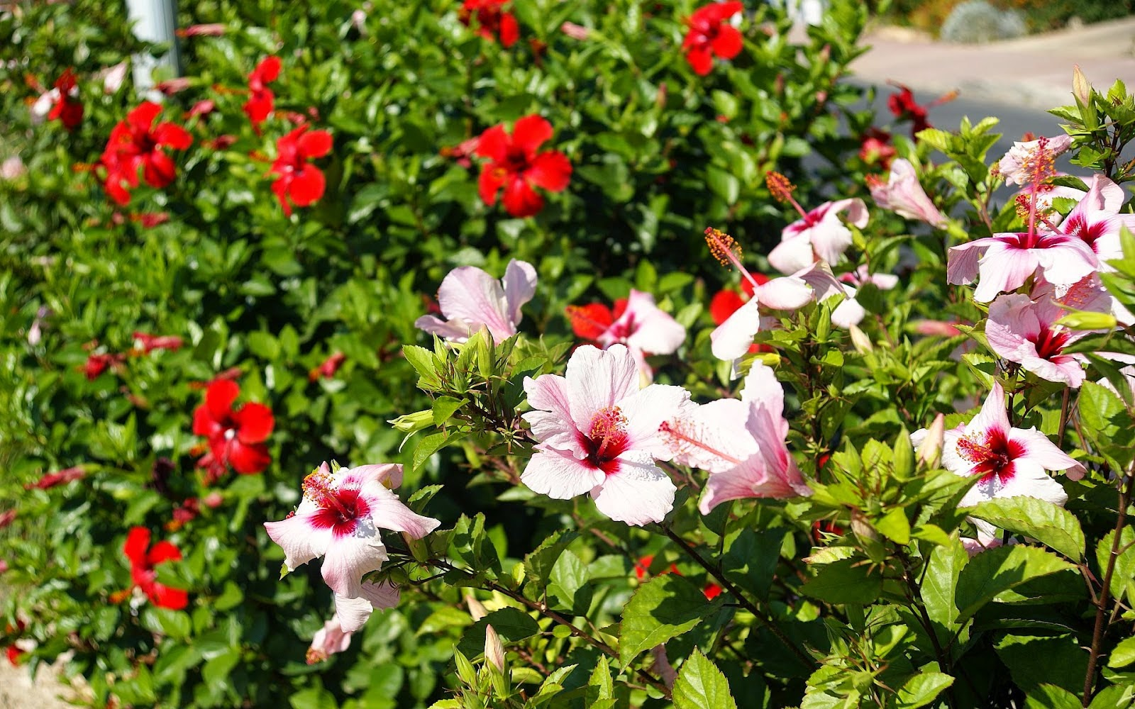 white-and-red-hibiscus-dsc01865