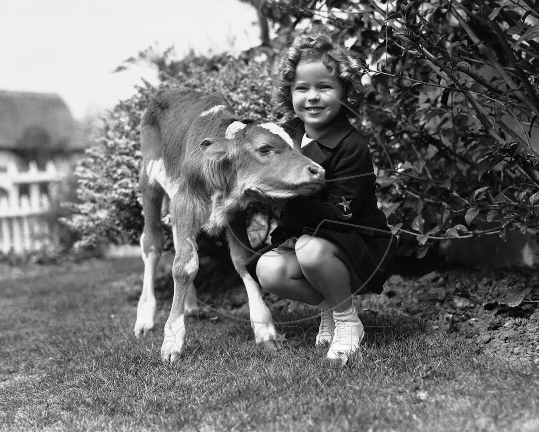 shirley-temple-calf-ap