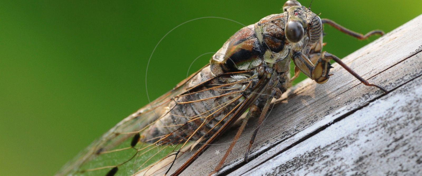 GTY_cicada_mm_160418_12x5_1600