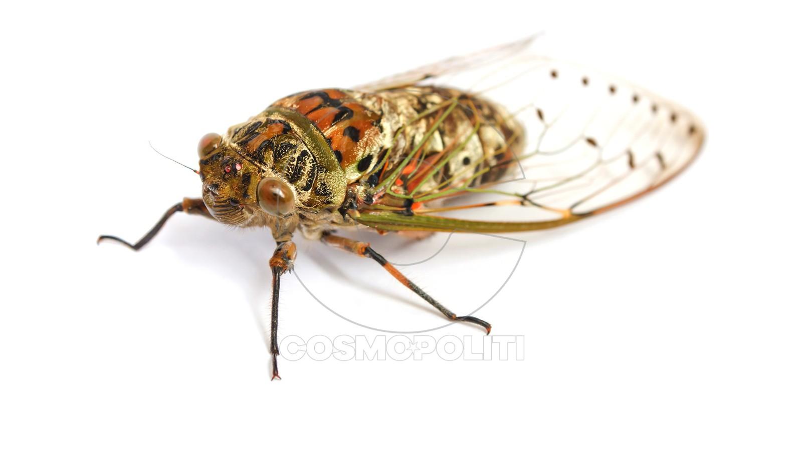cicada-white-background