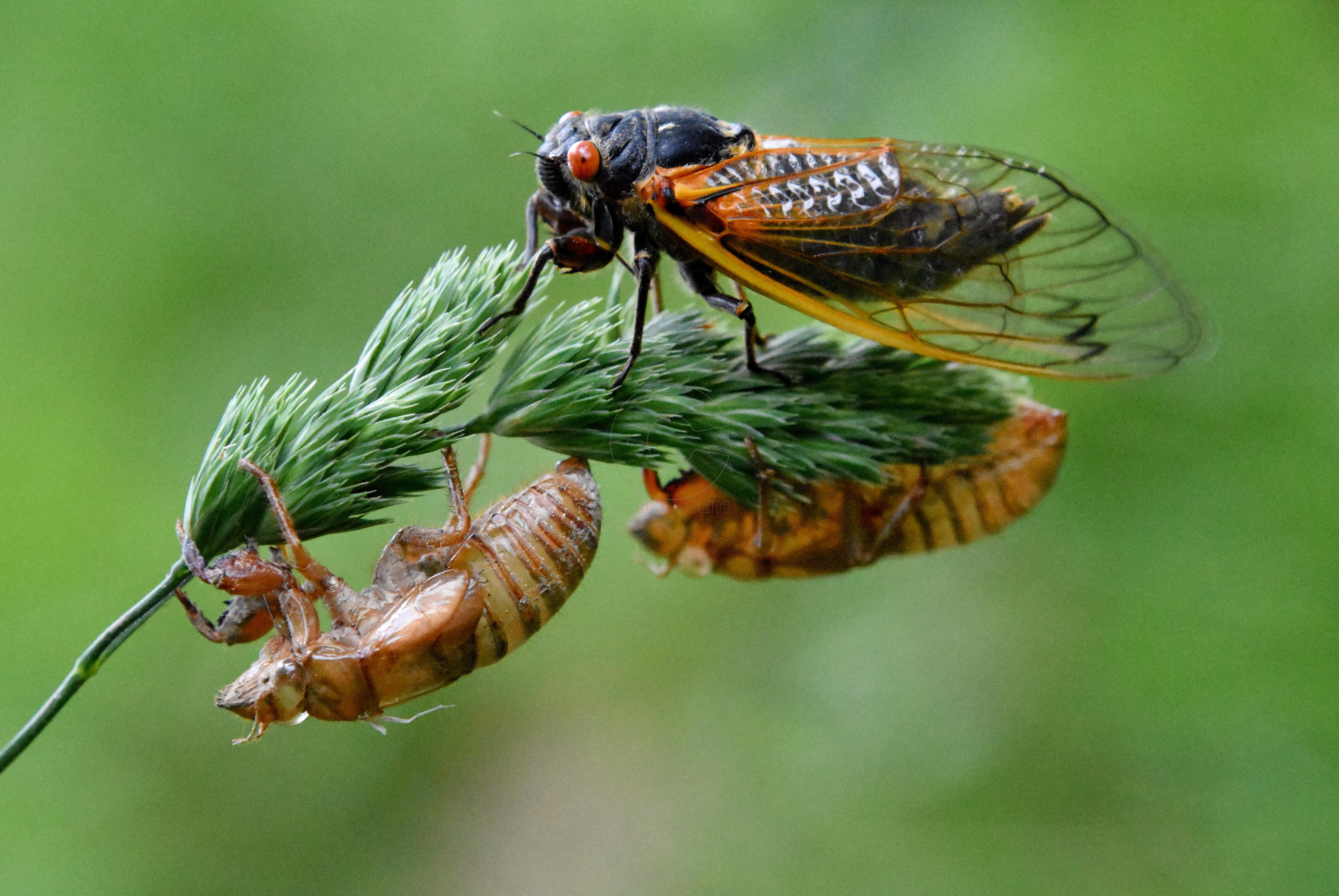 cicadas-nymphs-adult-broodv-17-year-2016