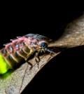 EX8FY7 Glow-worm (Lampyris noctiluca) adult female, glowing, displaying bioluminescence, on leaf, Kent, England