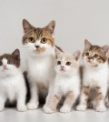 British Shorthair tortie and white female cat with tortie and white kitten, and chocolate and cream bicolour kittens