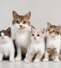 British Shorthair tortie and white female cat with tortie and white kitten, and chocolate and cream bicolour kittens