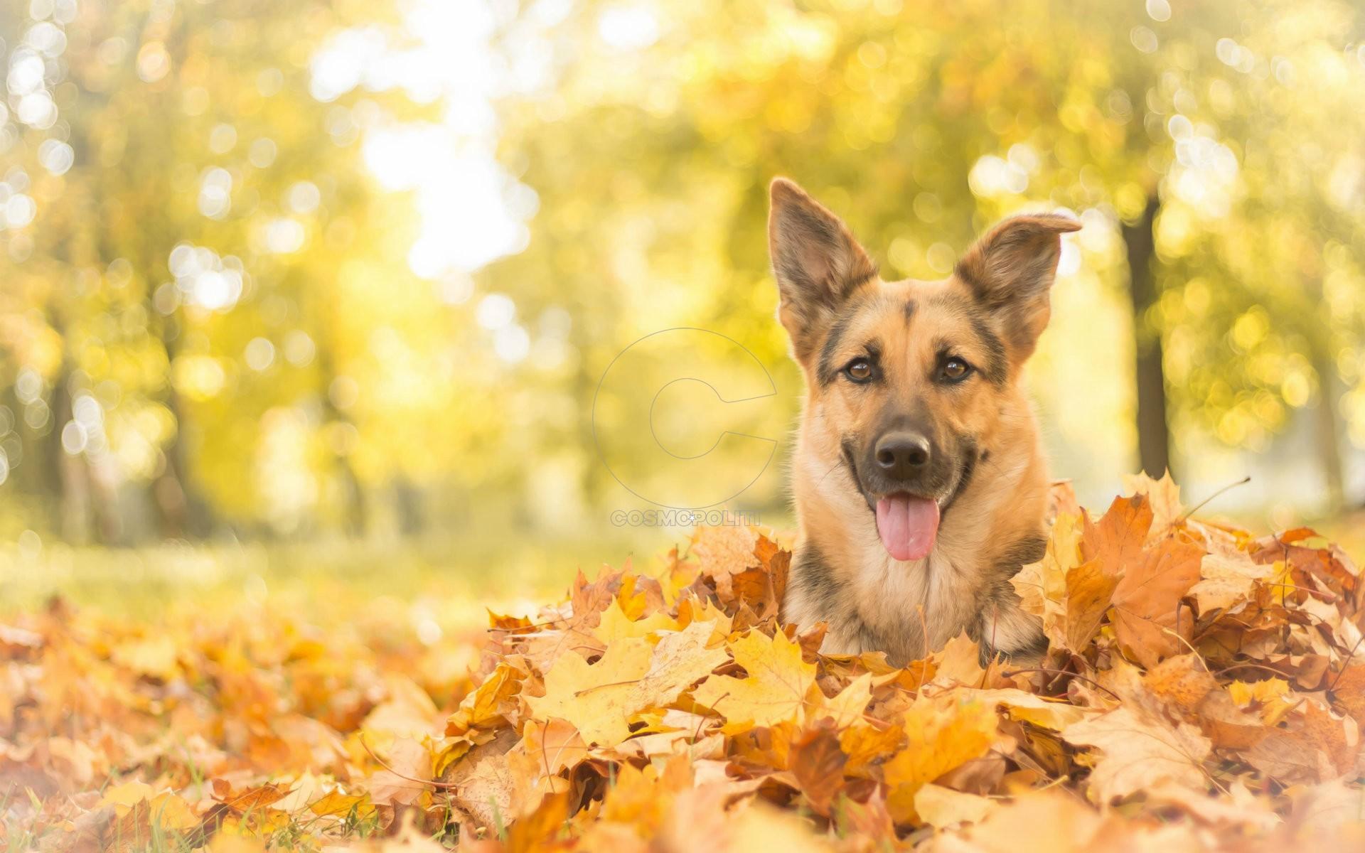 Wallpapers-Of-German-Shepherd-Dogs