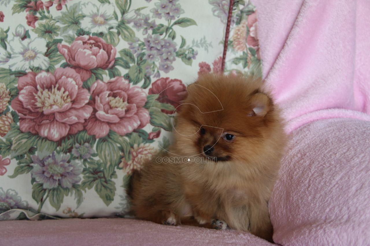 pretty-small-pomeranian-female-puppy-5a74933737342
